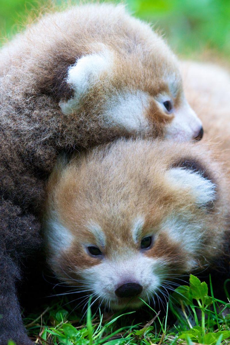 6 red panda