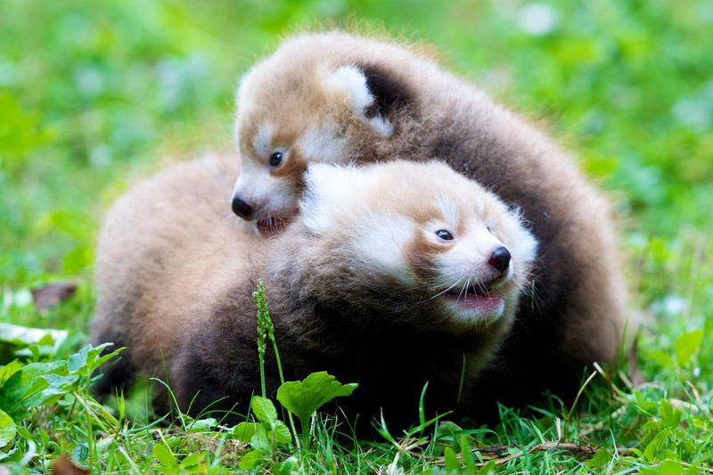 2 red panda