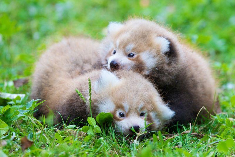 1 red panda