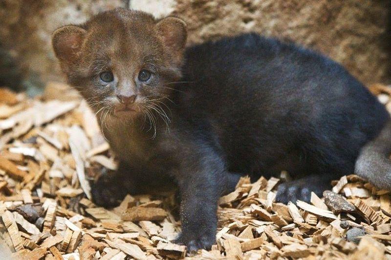 1 jaguarundi