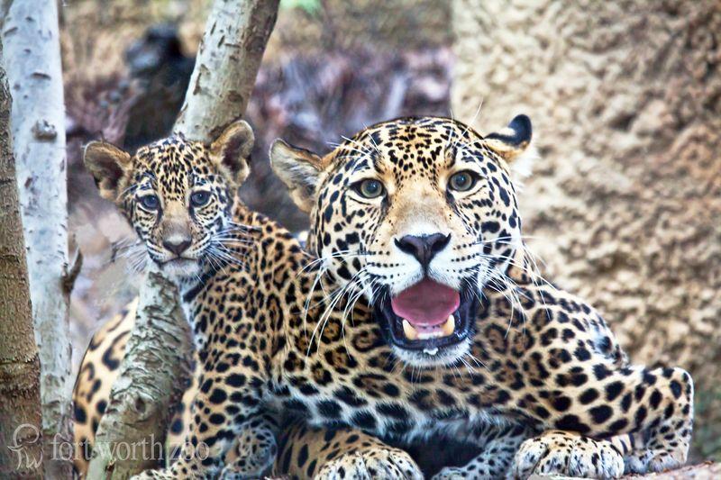 2 jaguar