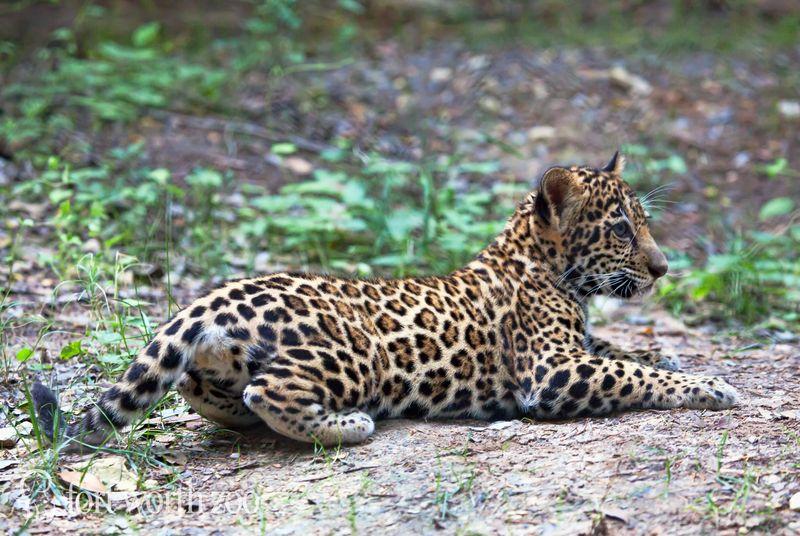 3 jaguar