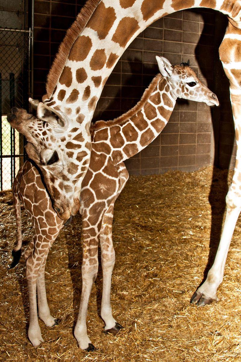 6 giraffe
