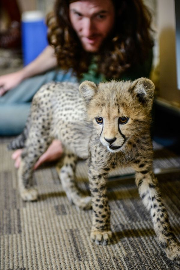 Romping with Cheetah Cubs