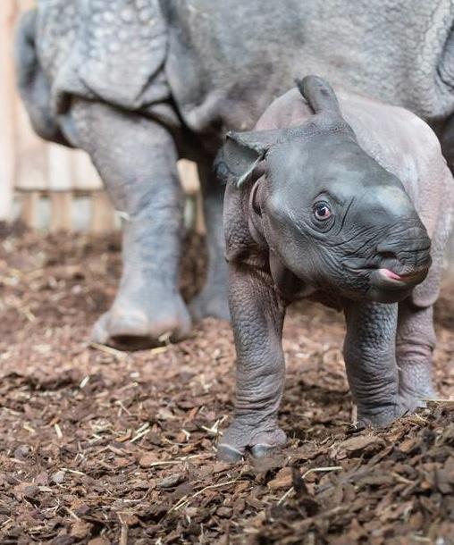 5 rhino