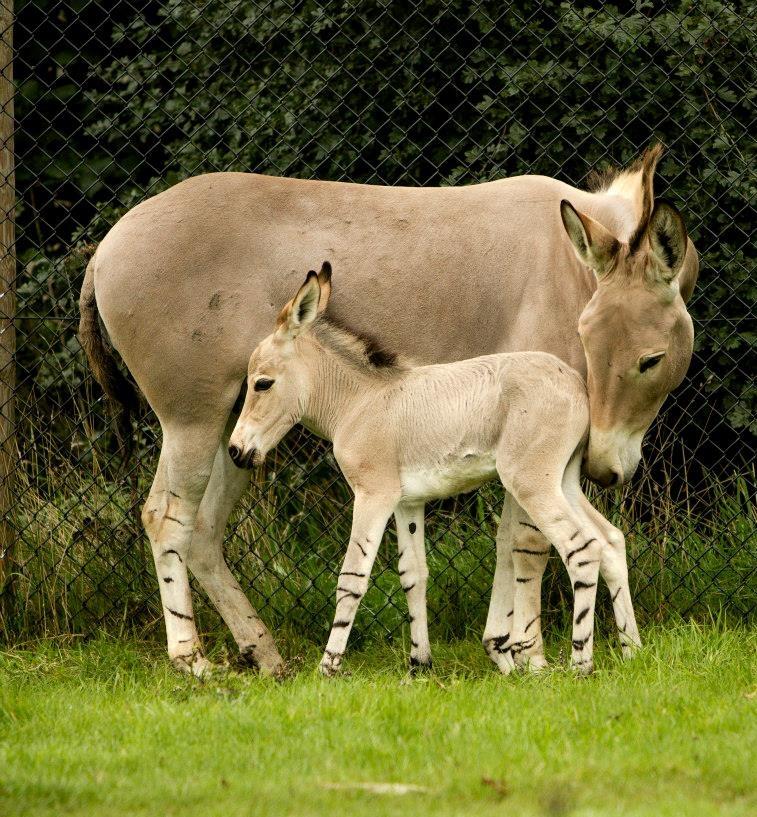 4 foal