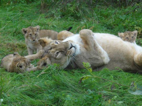 Are Lion Cubs Ticklish? - ZooBorns