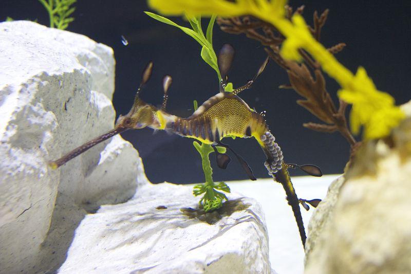Seadragon male with eggs