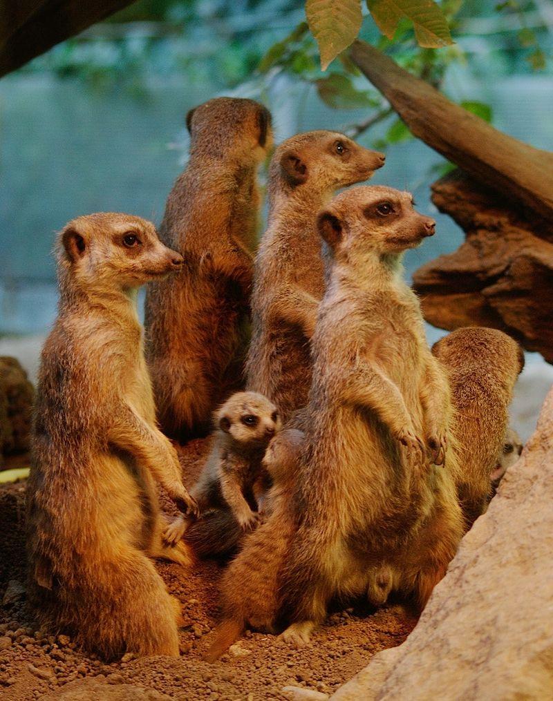 Meerkat 5