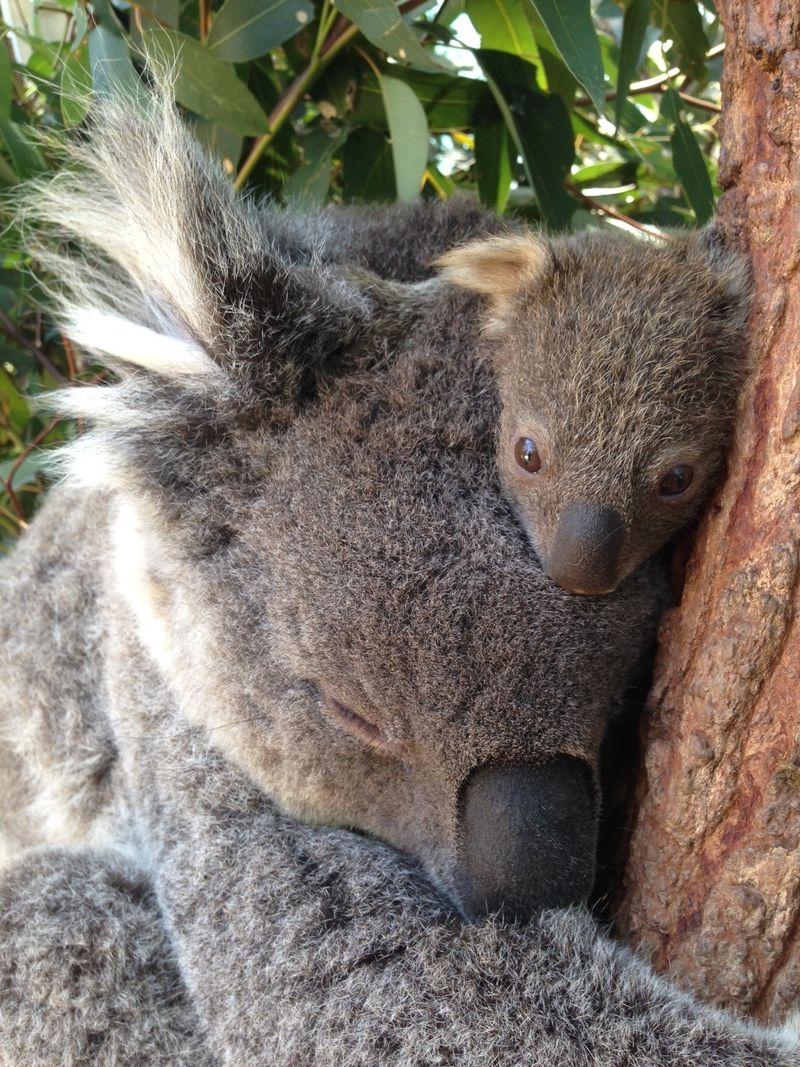 2 koala