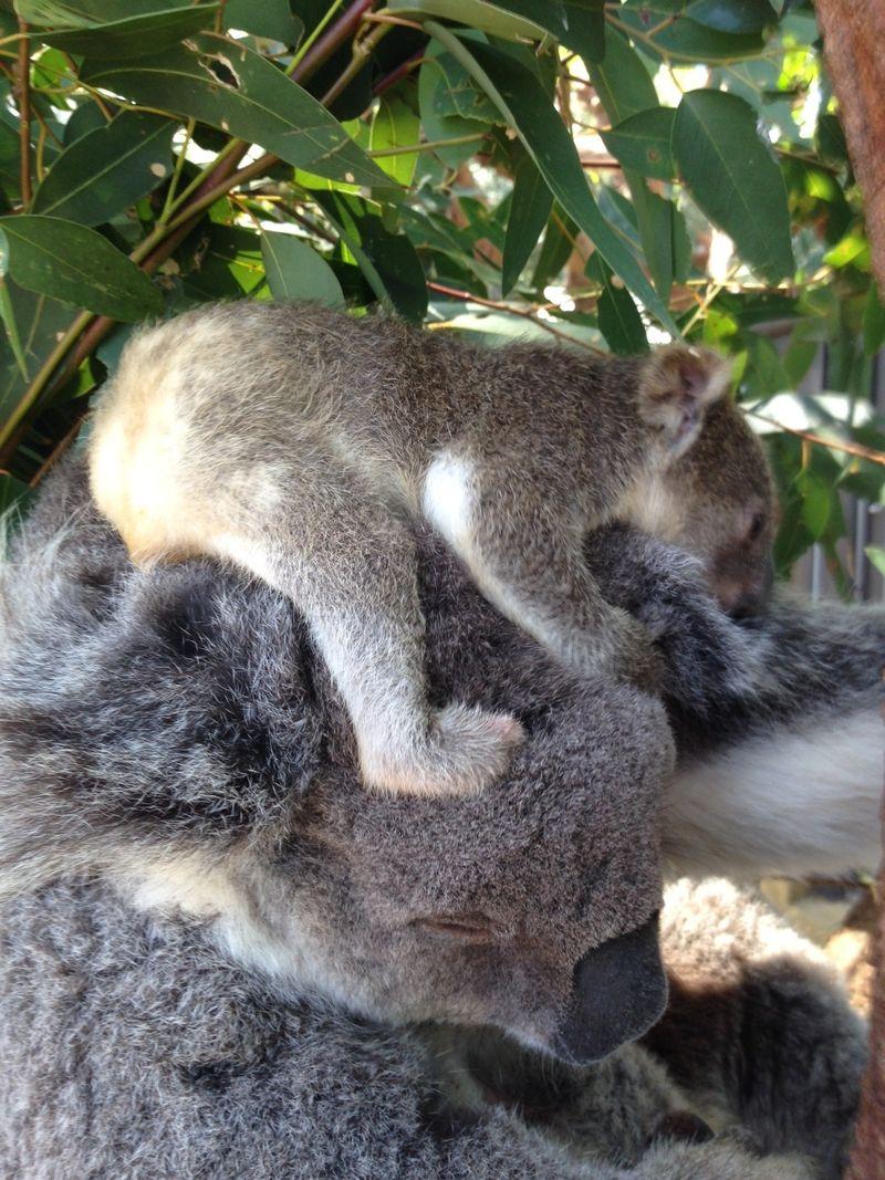 4 koala