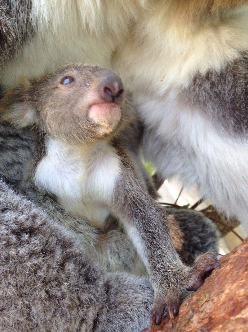 5 koala