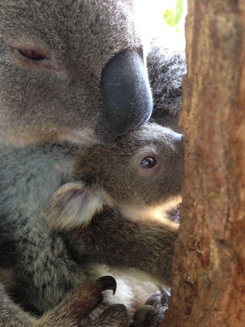 6 koala