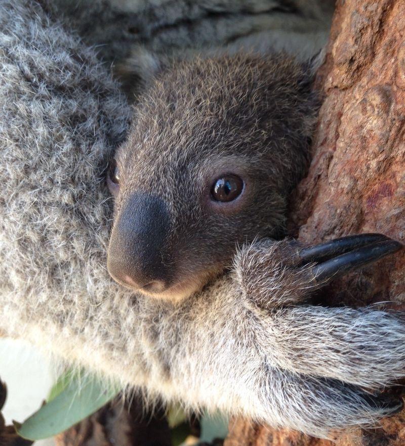 1 koala