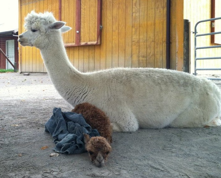 2 alpaca