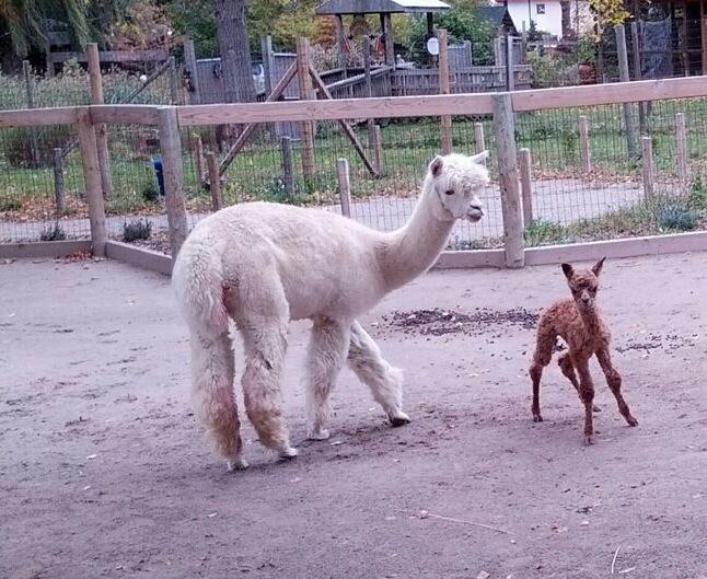 9 alpaca