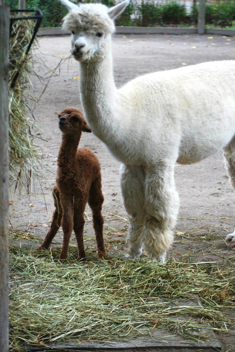 11 alpaca