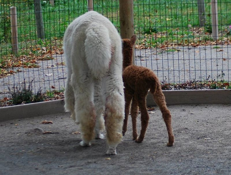 13 alpaca
