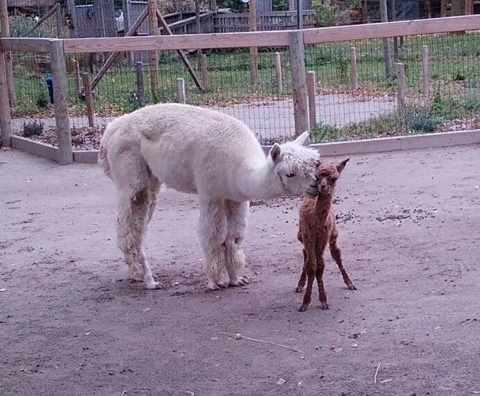 8 alpaca
