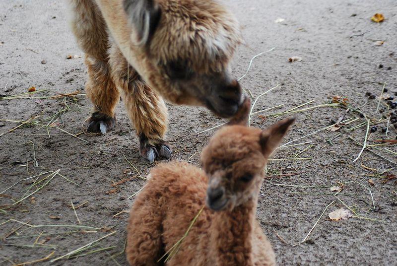 12 alpaca
