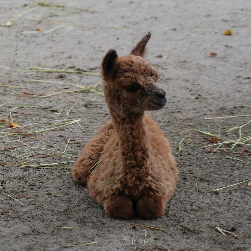 5 alpaca