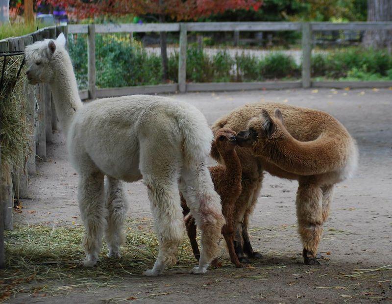 6 alpaca