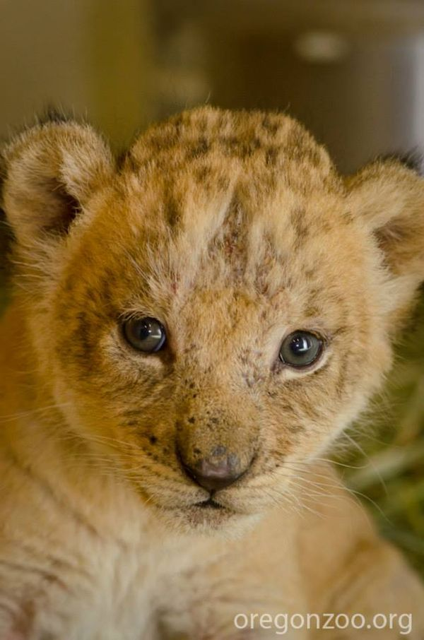 UPDATE! Help Name Oregon Zoo's Lion Cubs