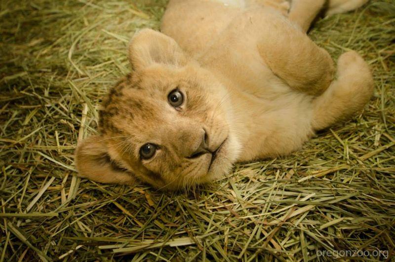 4 lion