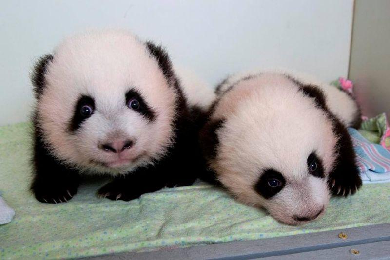 1 panda
