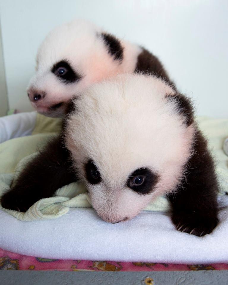 8 panda