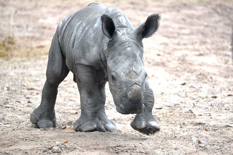 Africa white rhino baby oct 15 2013