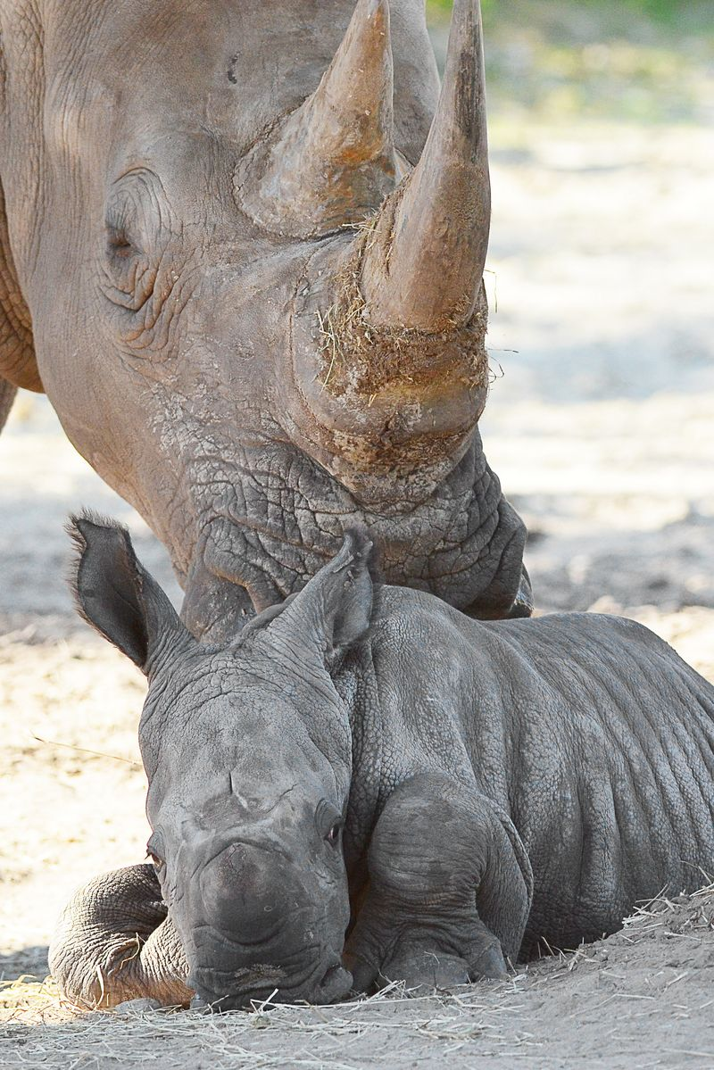 Africa white rhino baby 2 oct 14 2013