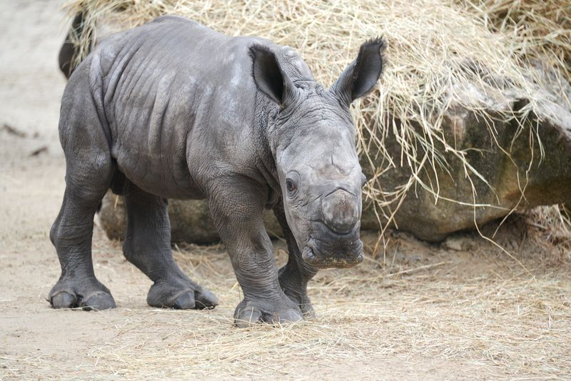 Africa white rhino baby 3 oct 15 2013