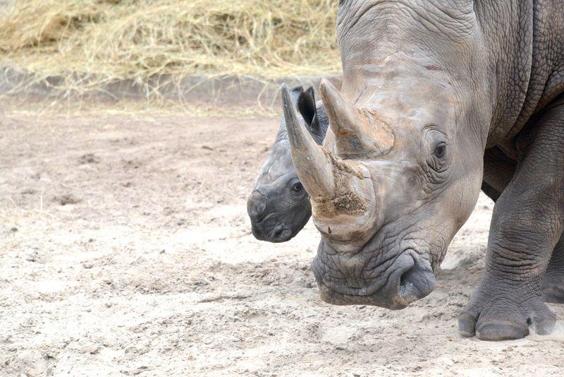Africa white rhino baby kidogo oct 15 2013
