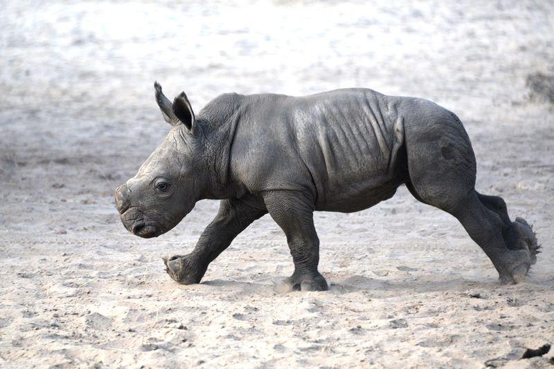 Africa white rhino khari baby oct 22 2013