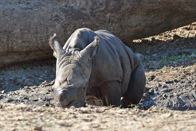 Africa white rhino baby 2 oct 17 2013