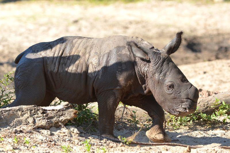 Africa white rhino baby 3 oct 17 2013
