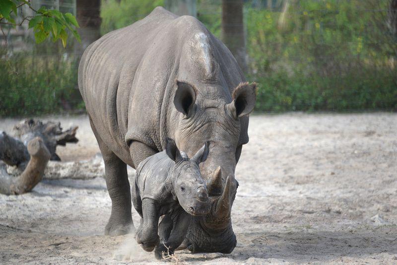 Africa white rhino kidogo khari baby oct 22 2013
