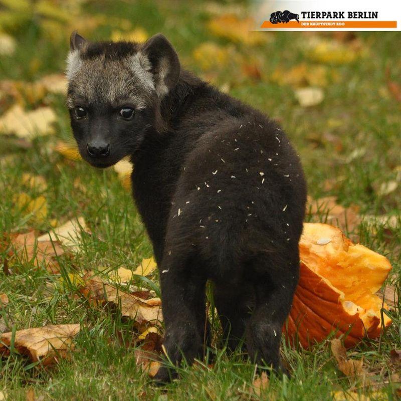 1 hyena