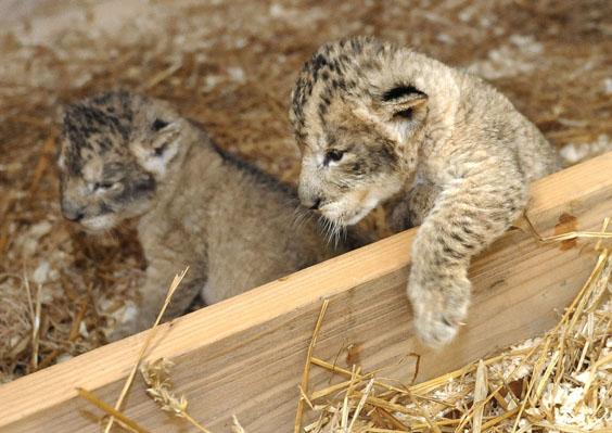 Lioncubs3