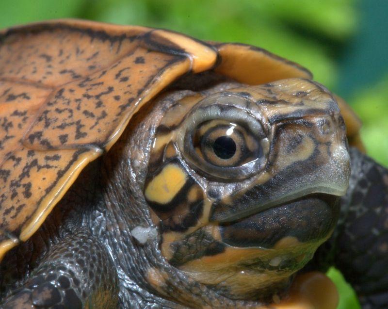 Keeled Box Turtle Tennessee Aquarium 2.jpg