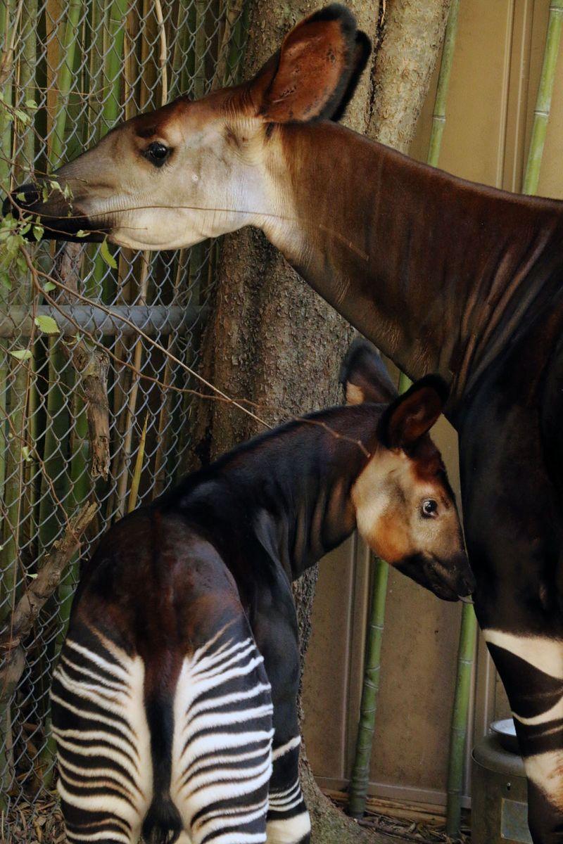 4 okapi