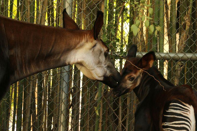 3 okapi