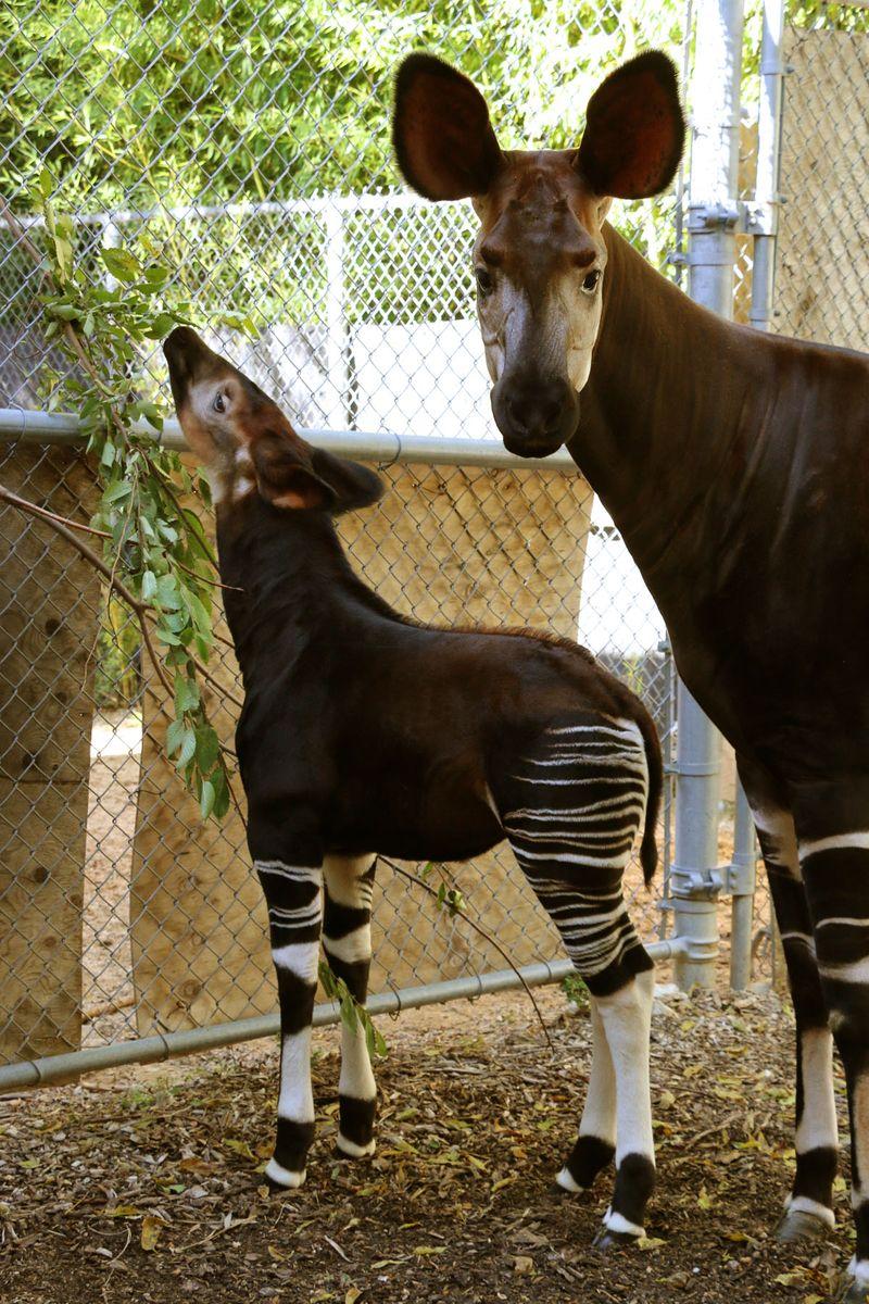 5 okapi