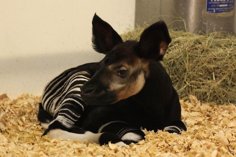 1 okapi