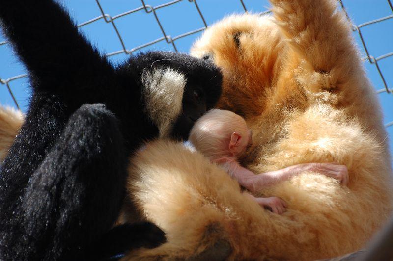 4 gibbon