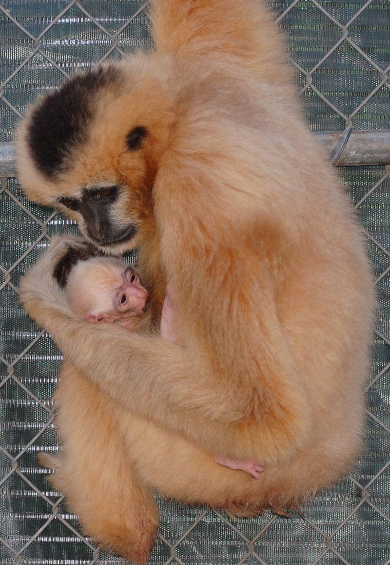 7 gibbon
