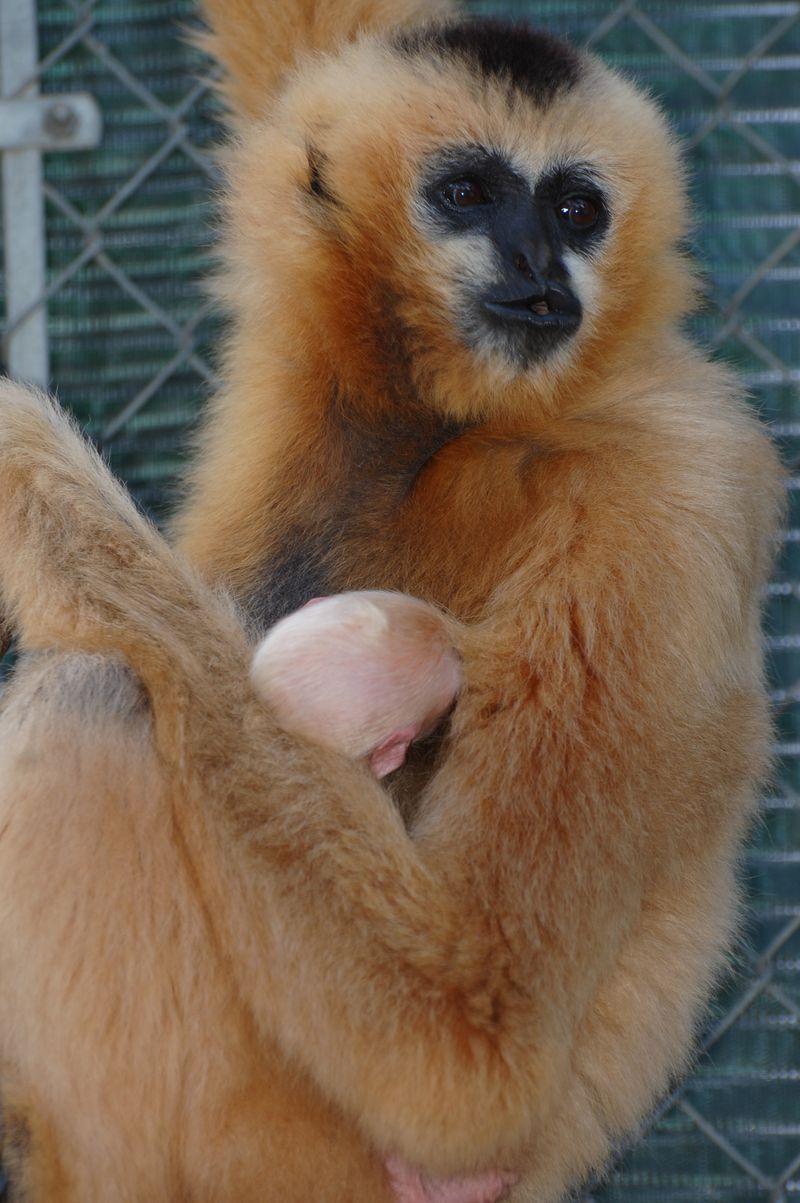 8 gibbon