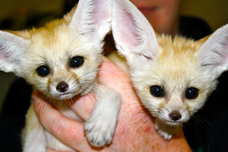 1 fennec fox