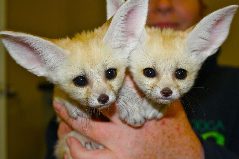 2 fennec fox
